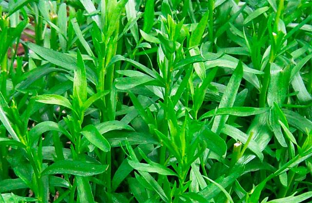 Трава тархун - полезные свойства, применение